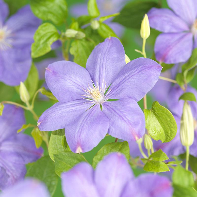 Violettrosa jackmanii klematis