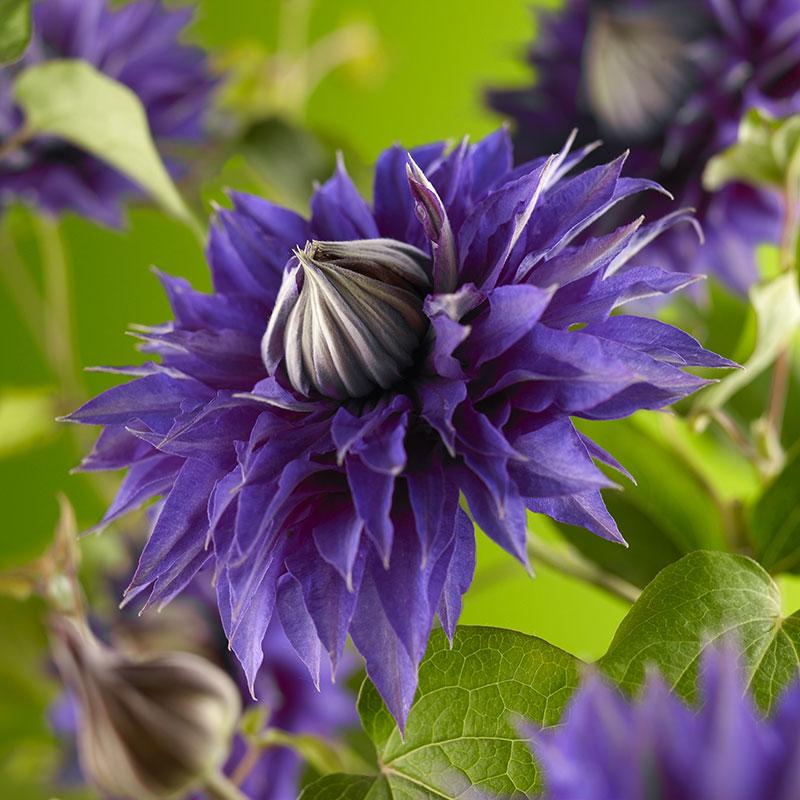 Violettblå patens klematis