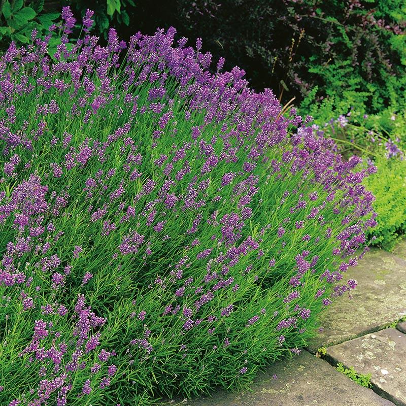 "Lavendel ""Munstead"""