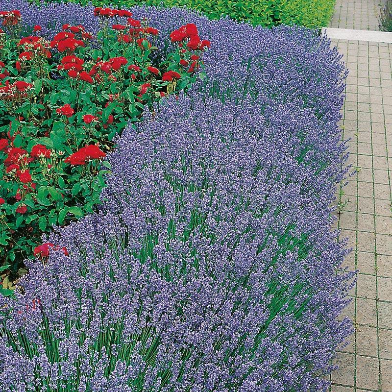 "Lavendel  ""Hidcote"""