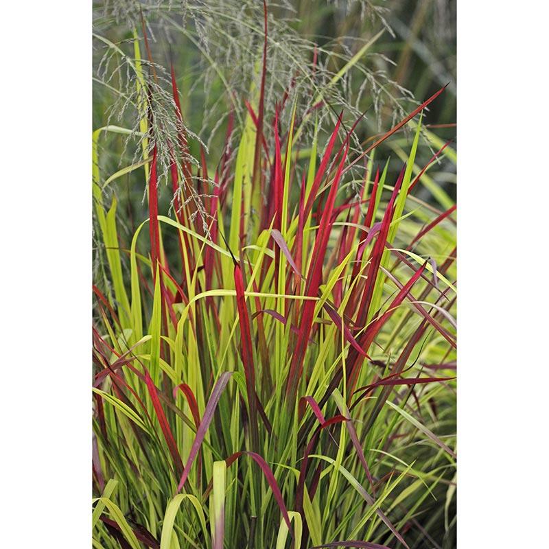 Japanskt blodgräs