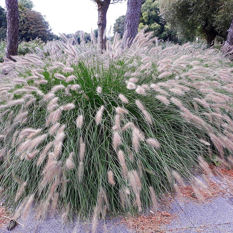 Lampborstgräs