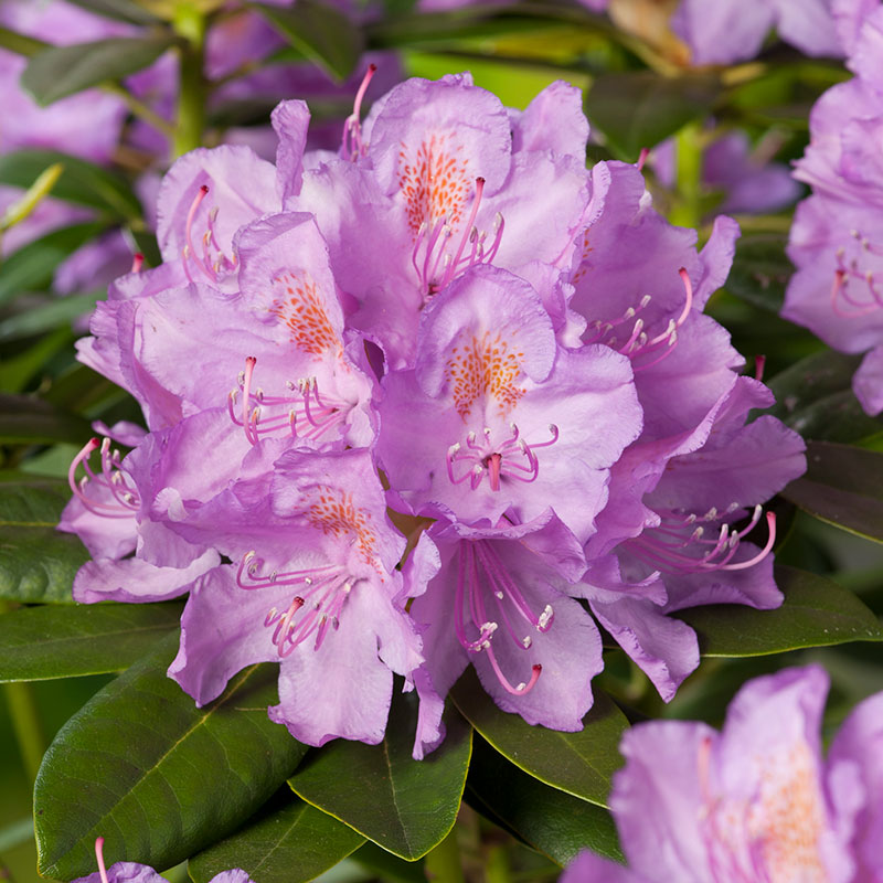 """Parkrododendron """"Catawbiense"""""""
