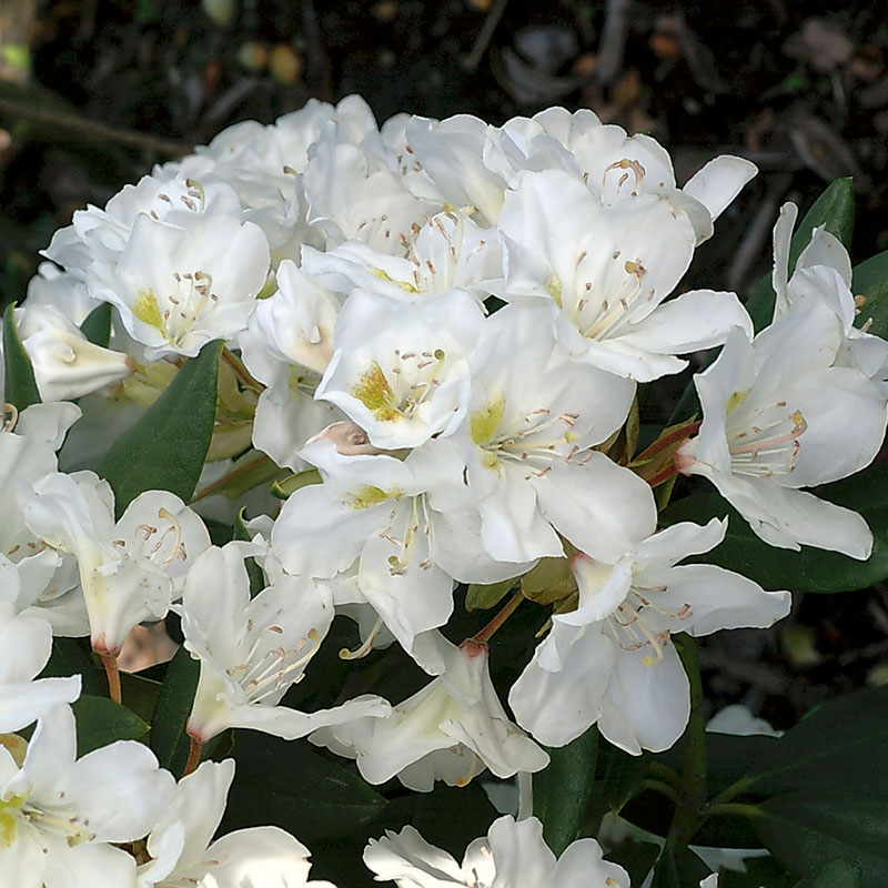 Parkrododendron Cunningham`s  White