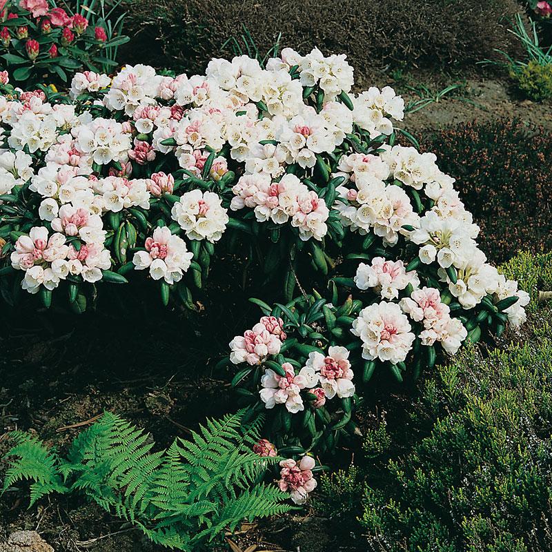 """Rododendron hybr. """"Koichiro Wada"""""""