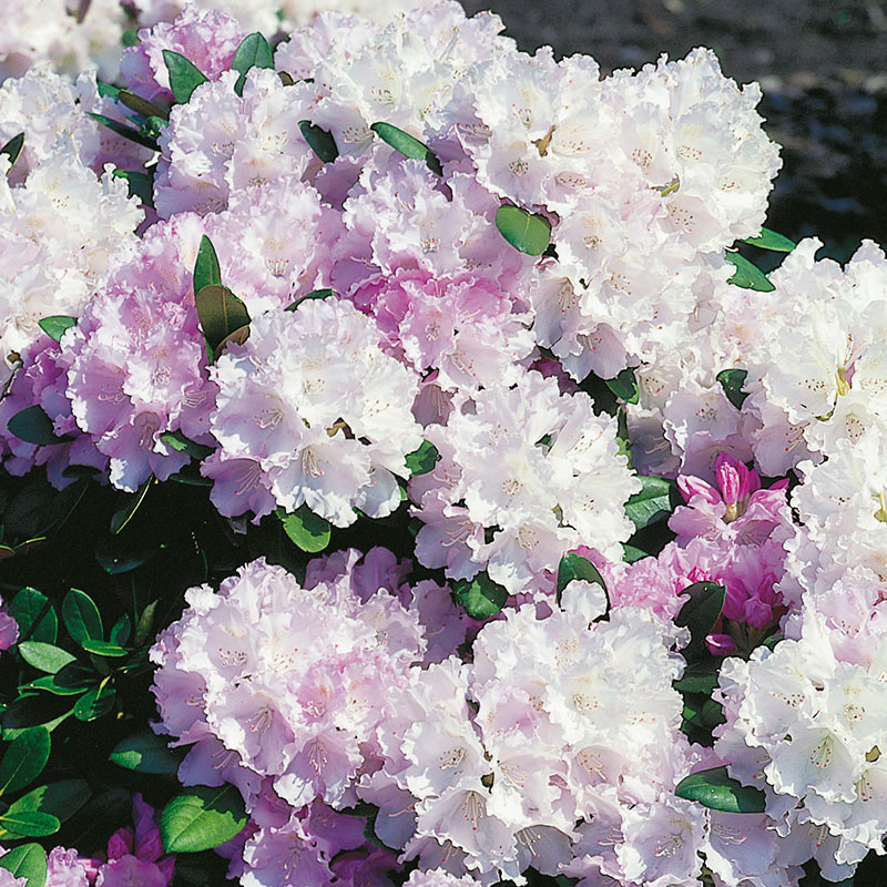 "Rododendron hybr. ""Silberwolke"""
