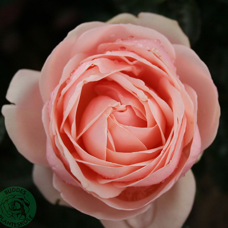 Storblommig ros Aphrodite