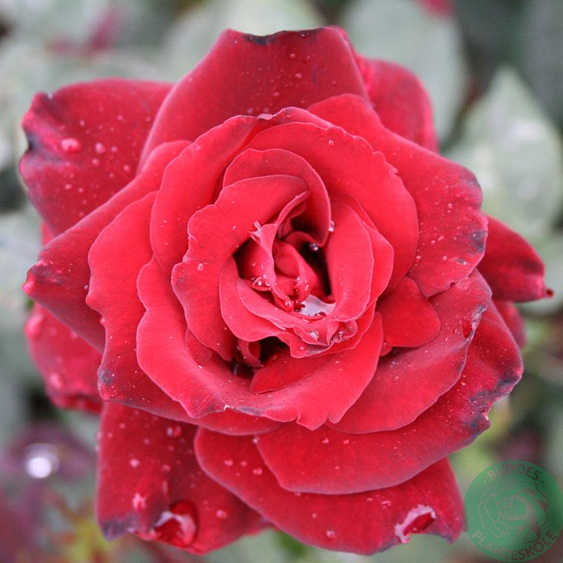 Storblommig ros Barkarole