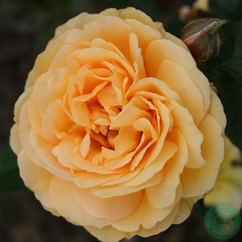 Flerblommig buskros Amber Queen