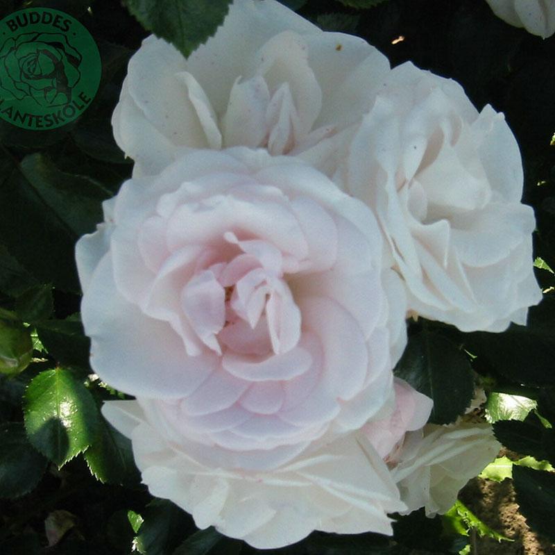 Flerblommig buskros Aspirin Rose