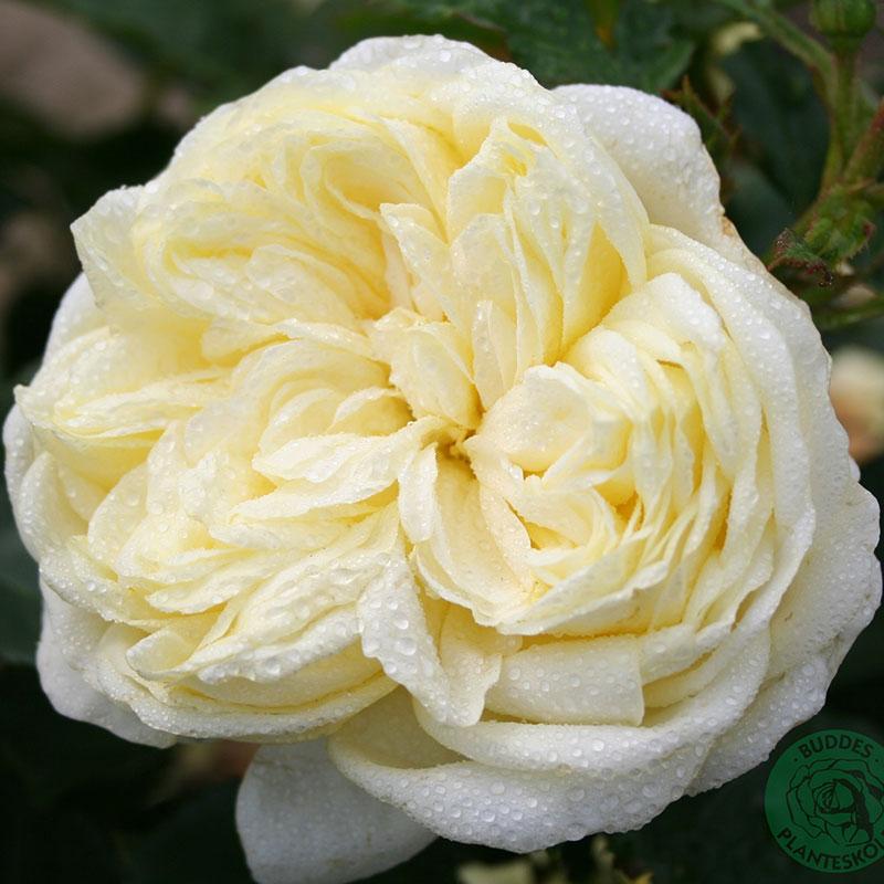 Flerblommig buskros Kronprinsesse Mary
