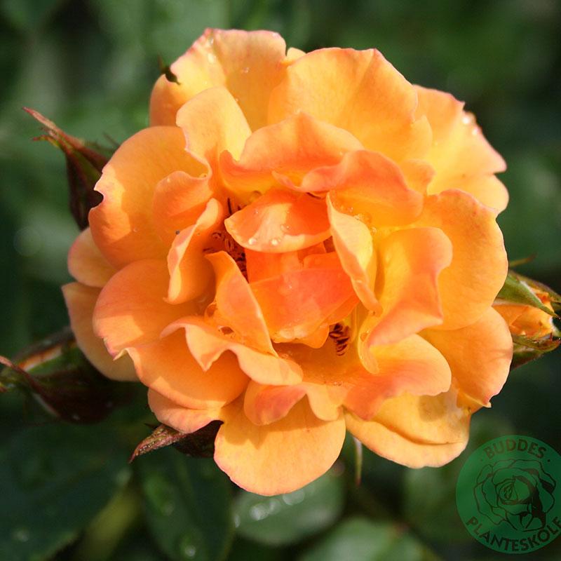 Marktäckande ros Flaming Cover