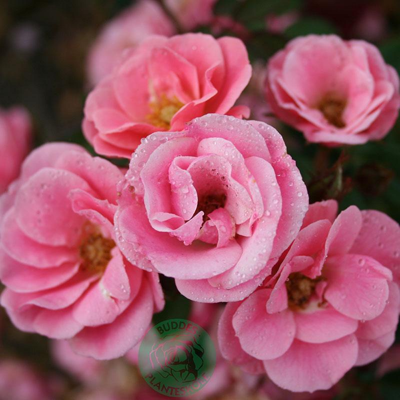 Marktäckande ros Sweet Cover