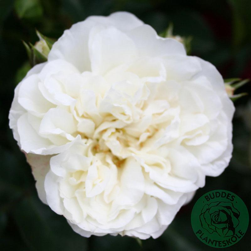 Marktäckande ros White Meidiland
