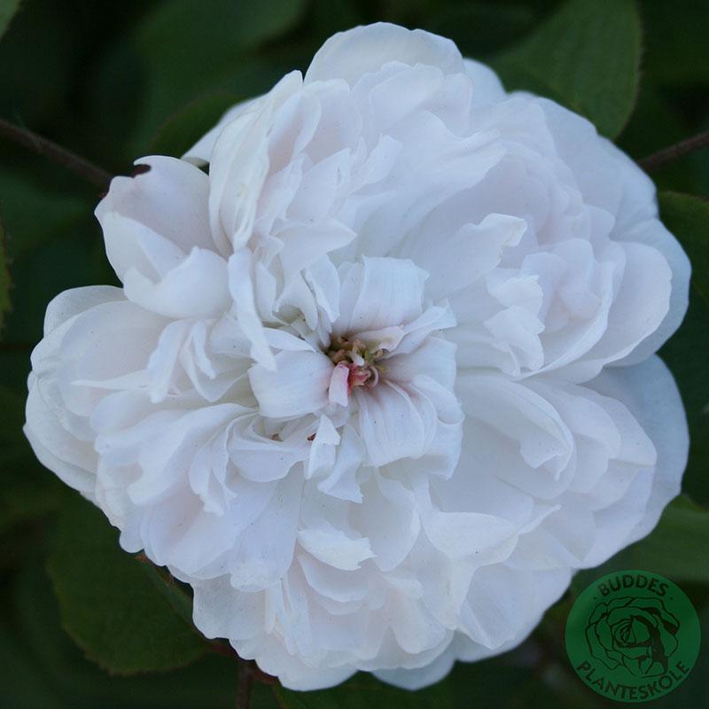 Gammaldags ros White Jacques Cartier