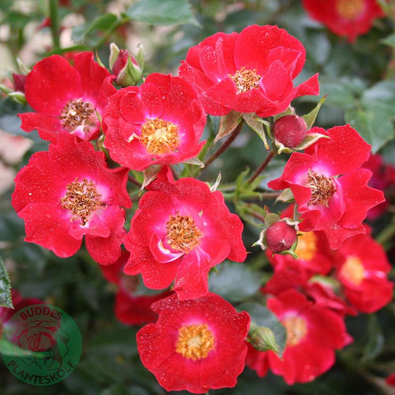 Marktäckande ros Bassino