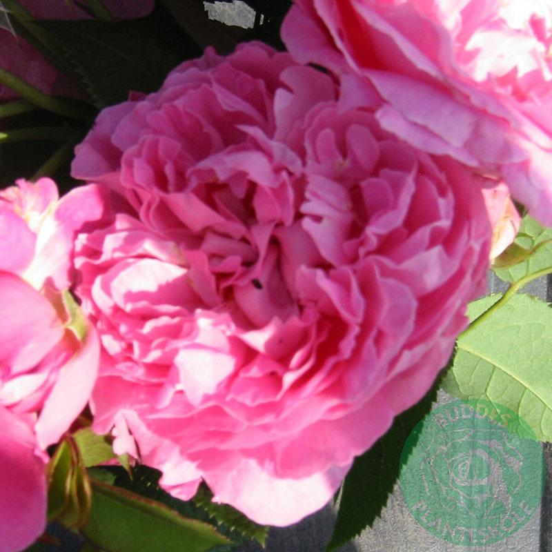 Engelsk ros Mary Rose
