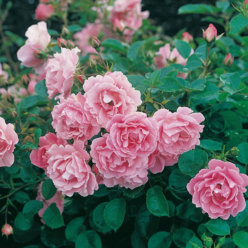 Marktäckande ros Sommerwind