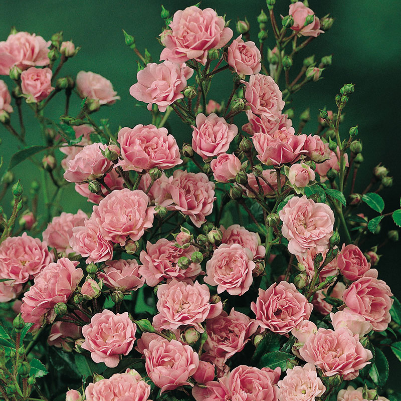 Marktäckande ros The Fairy