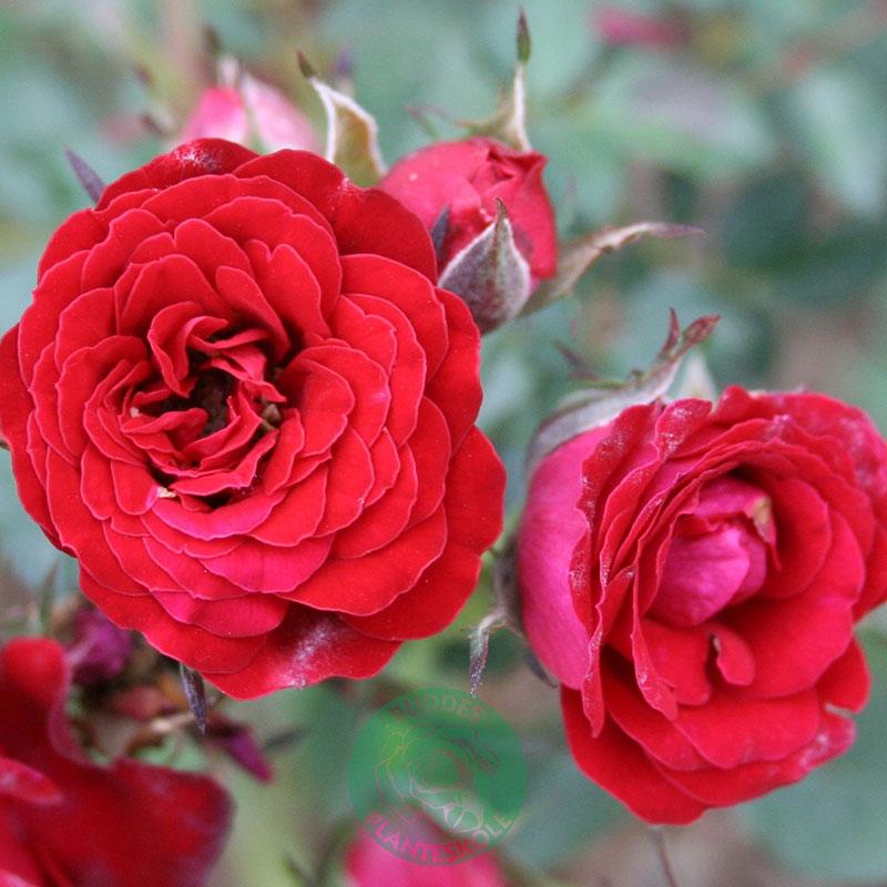 Marktäckande ros Velvet Cover