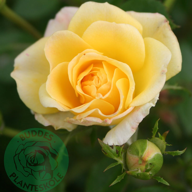 Marktäckande ros Yellow Fairy
