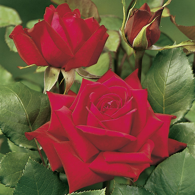 Storblommig ros Burgund 81