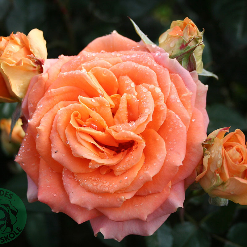 Storblommig ros Flora Danica
