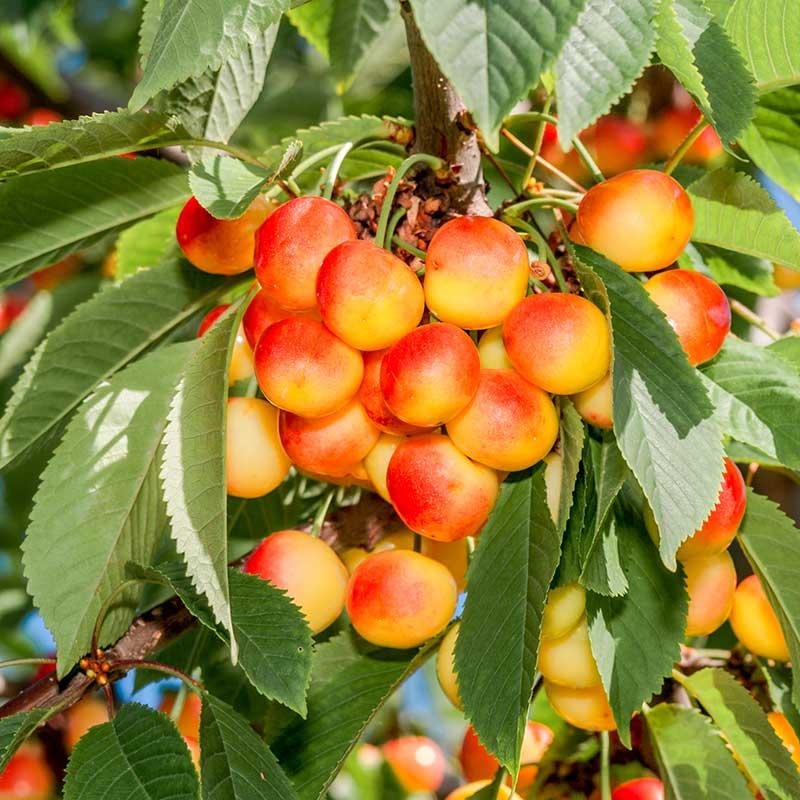 Sötkörsbärsträd 'Heidi'