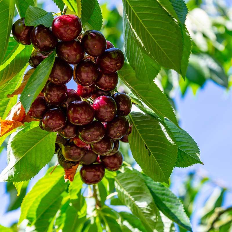 Sötkörsbärsträd Kordia