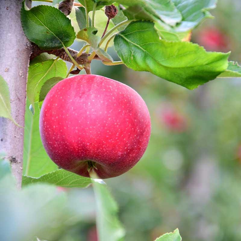 Äppelträd Gyllenkroks Astrakan