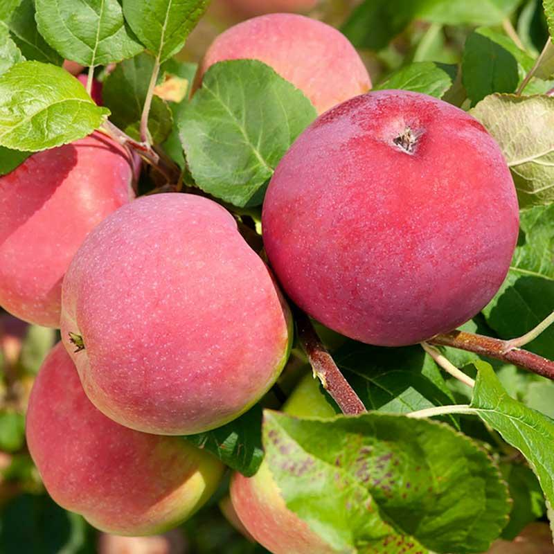 Äppelträd Röd Melba