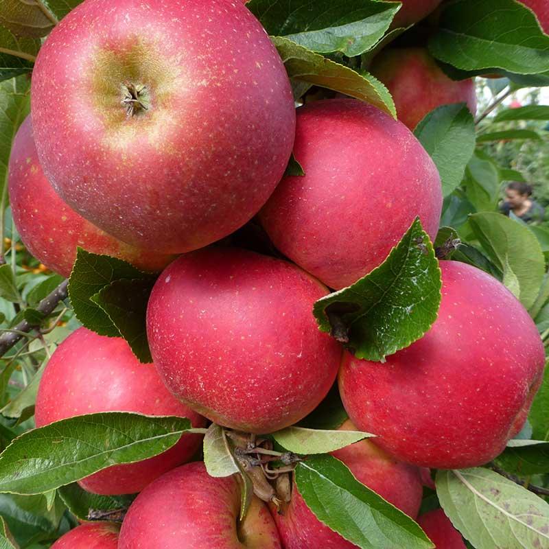Äpple miniträd Agnes B9
