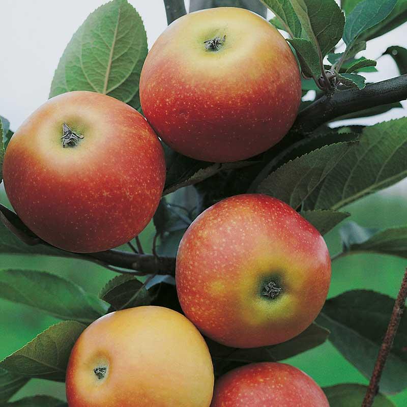Fruktträd